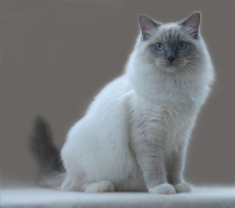 Blue Mink Cat