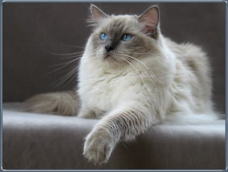 Ragdoll Cat Blue Bicolour